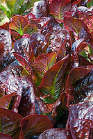 Lettuces Red Cash growing, large cos romaine variety, very pretty