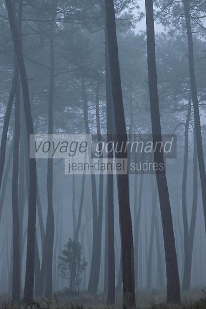 Europe/France/Aquitaine/40/Landes/Parc Naturel Régional des Landes de Gascogne/Marquèze (écomusée de la Grande Lande): La forêt landaise