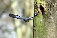 Hohltaube, an Baumhöhle, Nisthöhle, Hohl-Taube, Columba oenas, Stock dove, Tauben, Columbidae