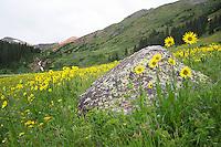 Aspen Sunflowers
