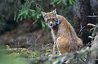 Europäischer Luchs, Eurasischer Luchs, Nordluchs, Nord-Luchs, Felis lynx, Lynx lynx, lynx, Lynx d`Europe