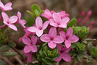 Daphne cneorum 'Eximea' in spring pink flowers