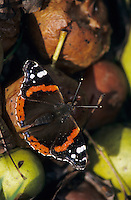 Red Admiral, Vanessa atalanta, adult on rotten pears, Oberaegeri, Switzerland, Oktober 1998