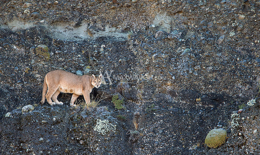 A female puma stands on a high cliffside in southern Chile.