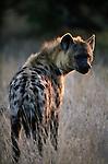 Spotted Hyena, Kwando, Botswana
