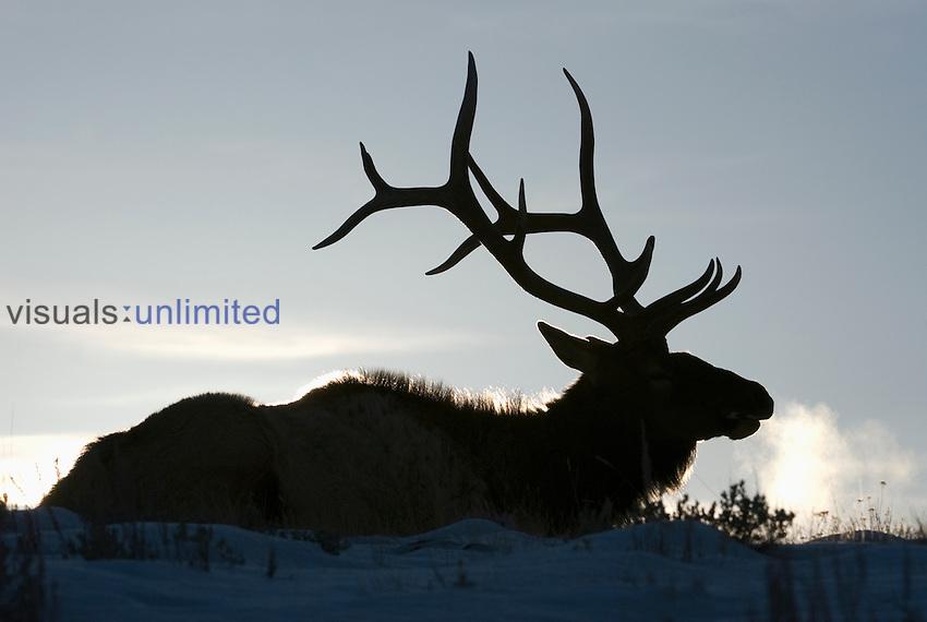 Bull Elk (Cervus elaphus) in winter.