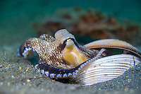 Coconut octopus (Amphioctopus marginatus) with shells in Lembeh / Indonesia
