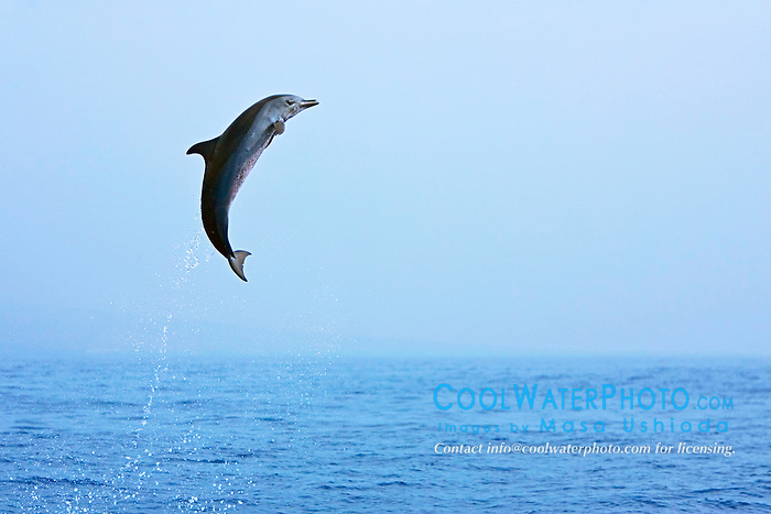 Pantropical Spotted Dolphin calf, leaping, Stenella attenuata, off Kona Coast, Big Island, Hawaii, Pacific Ocean.