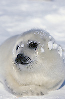 LL5273. Harp Seal (Phoca groenlandica), one week old pup. Magdalen Islands, Canadian Arctic..Photo Copyright © Brandon Cole. All rights reserved worldwide.  www.brandoncole.com..This photo is NOT free. It is NOT in the public domain. This photo is a Copyrighted Work, registered with the US Copyright Office. .Rights to reproduction of photograph granted only upon payment in full of agreed upon licensing fee. Any use of this photo prior to such payment is an infringement of copyright and punishable by fines up to  $150,000 USD...Brandon Cole.MARINE PHOTOGRAPHY.http://www.brandoncole.com.email: brandoncole@msn.com.4917 N. Boeing Rd..Spokane Valley, WA  99206  USA.tel: 509-535-3489