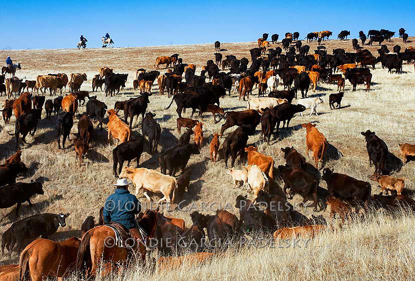 Cattle roundup at the Spring Ranch in Shandon, California