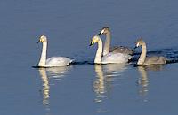 Singschwan, Paar, Pärchen mit noch grauen Jungvögeln Sing-Schwan, Schwan, Cygnus cygnus, whooper swan