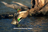 00720-00610  Green-winged Teal (Anas crecca) male flapping wings in wetland Marion Co.  IL