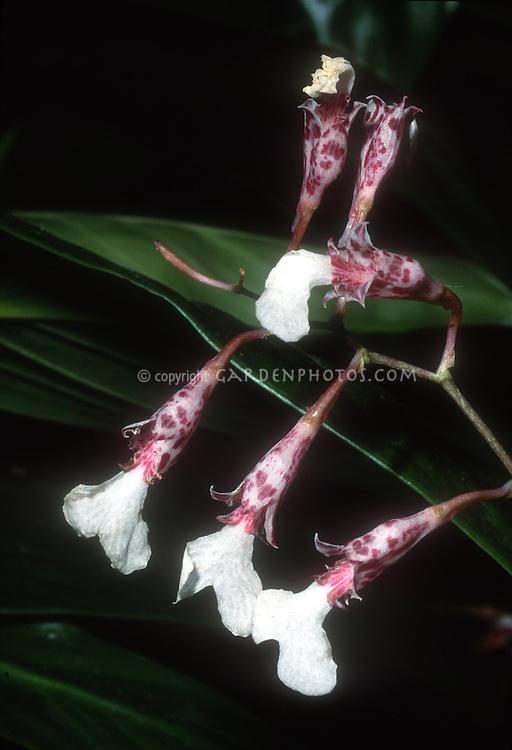 Rodriguezia decora orchid species