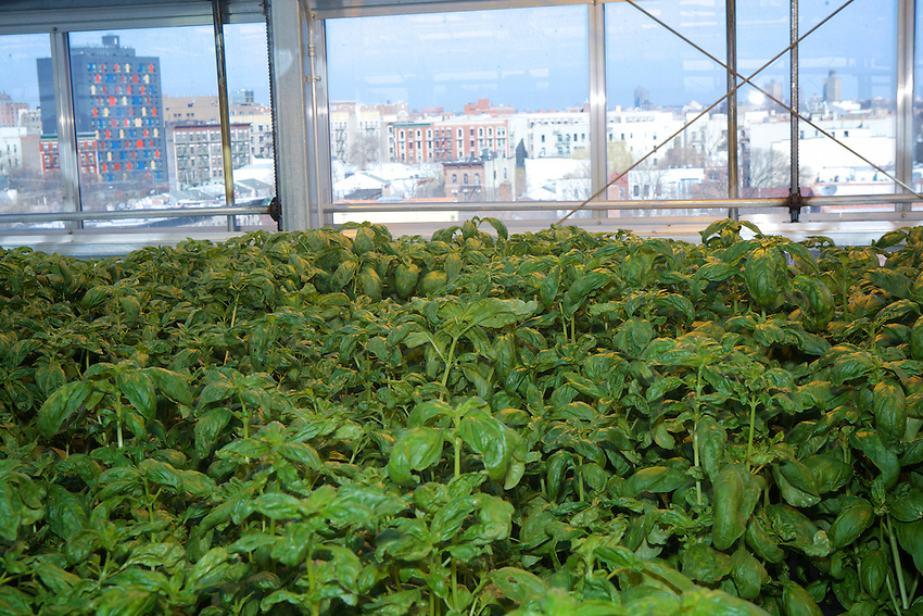 BRONX, NY - February 28, 2017: The rooftop growing facility of Sky Vegetables, an urban farm in the Morrisania<br /> neighborhood.<br />  <br /> Credit: Clay Williams for Edible Bronx.<br /> <br /> &copy; Clay Williams / http://claywilliamsphoto.com
