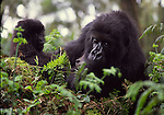 Mountain gorilla mom with young