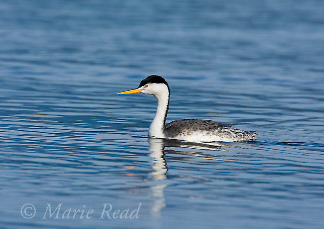 Clark's Grebe (Aechmophorus clarkii), breeding plumage, California, USA
