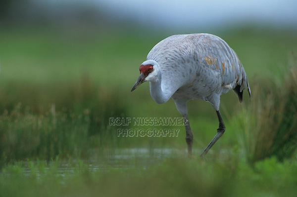 Sandhill Crane, Grus canadensis, adult in marsh, Lake Corpus Christi, Texas, USA