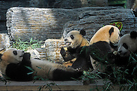 Pandas that were brought from the damaged Wolong panda reserve to Beijing roll around with thier keeper in Beijing Zoo, 18th August 2008.   Eight tramatised one and two year-old  pandas were brought from Wolong to Beijing for recuperation and have been placed in aan Olympic Panda exhibition at Beijing zoo and are recieving unprecadented number of visitors.  The pandas were so scaerd during the quake and refused to come down from the trees. The Wolong keepers that accompanied the pandas to Beijing cuddle and play with pandas to help them recover from their horrific experience. <br />