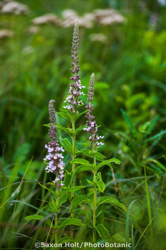 Teucrium canadense, Canada germander wildflower in Tallgrass Prairie Preserve, Oklahoma