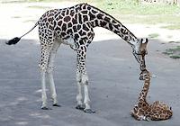 Il cucciolo di giraffa nato lo scorso 28 settembre, con Esperanza, nata nel 2006, al Bioparco di Roma, 9 ottobre 2009..A male baby giraffe born on 28 september, has its head licked by Esperanza, born on 2006, at Rome's Bioparco, 9 october 2009..UPDATE IMAGES PRESS/Riccardo De Luca