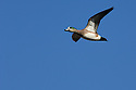 00318-006.09 American Wigeon Duck (DIGITAL) drake in flight against a blue sky.  Waterfowl, hunt, wetlands, action.  H3L1