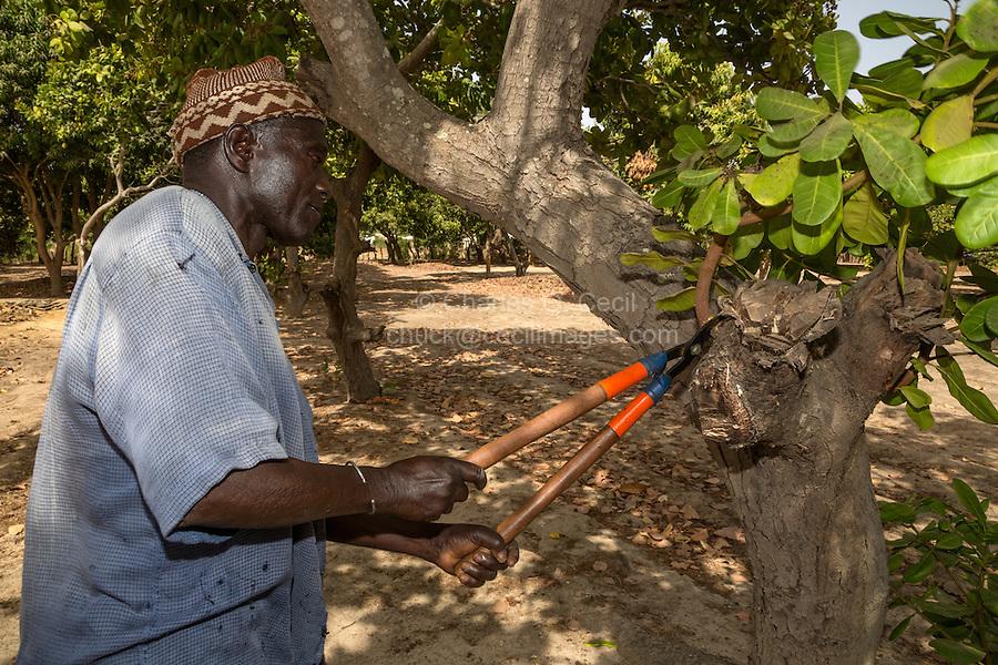 Cashew Nut Farmer Pruning one of his Trees, near Sokone, Senegal