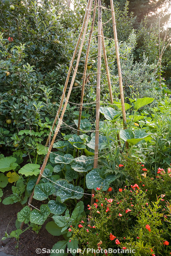 Bean teepee made from recycled tree Dahlia imperialis stalks, tripod supports in edible landscaping, ornamental organic vegetable garden border with pumpkins and pomegranate and apple tree