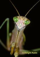 1M38-003z  Praying Mantis adult front leg w/spines -Tenodera aridifolia sinensis