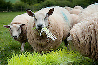 Ewes eating 7 days old sprouted barley from a hydroponics growing system, Herefordshire.