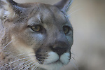 mountain lion face