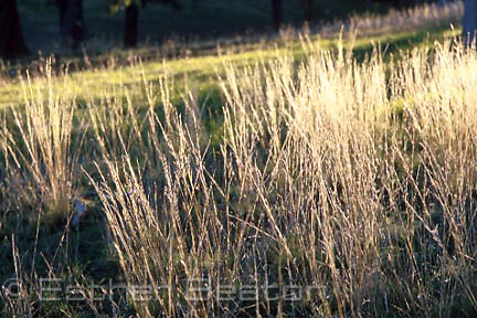 Dawn sun on frost-covered native Speargrass (Stipa sp. scabra?) typical ground cover in Box Ironbark woodland, southeastern Australia