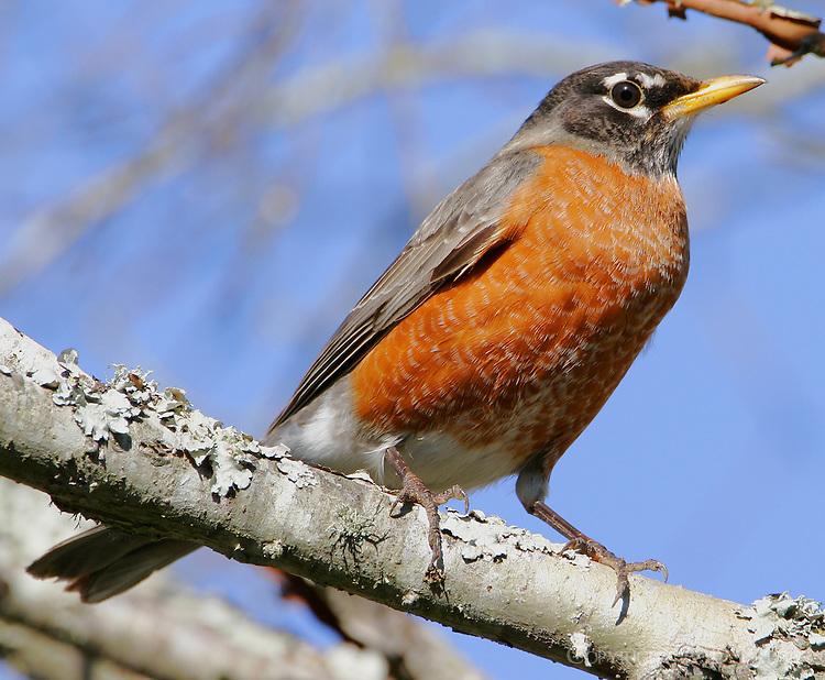 Adult male American robin in tree