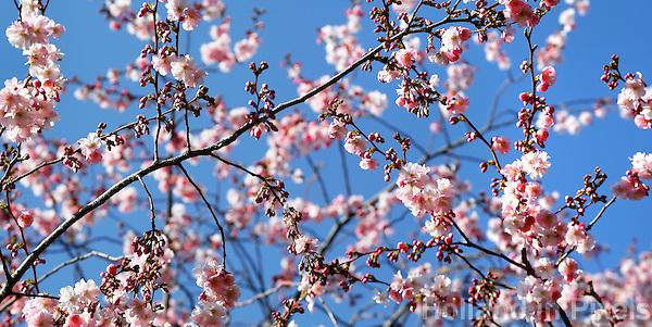 Japanse sierkers in bloei. Takken met bloesem