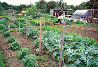 Artichoke Cynara cardunculatus Scolymus vegetable plants growing in the garden in the ground, edible crop, perennial, with other plants and flowers, greenhouse and shed at rear of large backyard garden