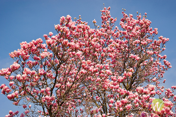 Magnolia tree in bloom.