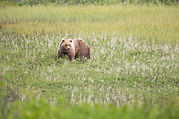 Coastal brown bear in grassy meadow, Cape Douglas, Katmai National Park, Alaska Peninsula, southwest Alaska.