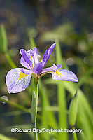 63899-049.01 Blue Flag Iris (Iris virginica) in wetland, Marion Co.  IL