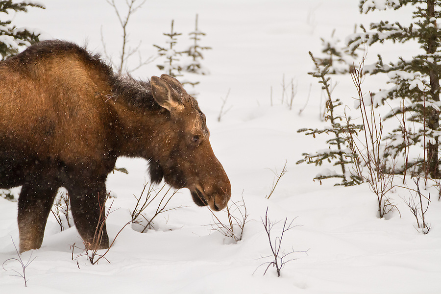 A young moose stands in the snow among the trees in winter.
