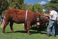 Vache de race Salers, ayant recu le titre de Miss Salers 2014