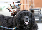 Sam, 11, participates in the Scallywaggers Pirate Pup Parade at the Brewery Arts Center, in Carson City, Nev., on Wednesday, Sept. 18, 2019.<br /> Photo by Cathleen Allison/Nevada Momentum