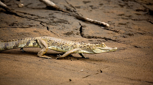 A CAYMAN REPTILE PREPARES TO ENTER THE TAMBOPATA RIVER IN THE JUNGLE OF PERU