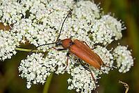 Rothalsbock, Rot-Halsbock, Roter Halsbock, Gemeiner Bockkäfer, Weibchen, Corymbia rubra, Stictoleptura rubra, Leptura rubra, Aredolpona rubra, Red Longhorn Beetle, Red Longhorn-beetle, female