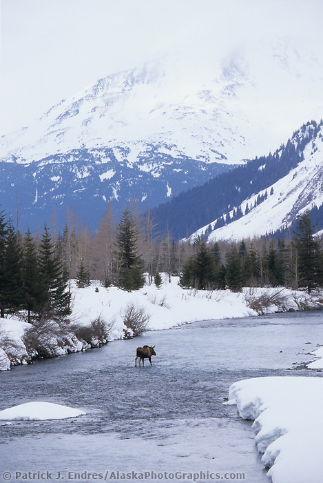Moose crosses open stream during winter, Portage, Alaska