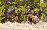 Elk in the Woods, Dunraven Pass, Yellowstone National Park, Wyoming