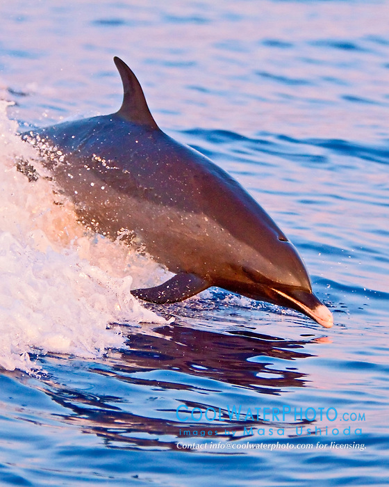 pantropical spotted dolphin, Stenella attenuata, large adult, jumping out of boat wake at sunset, Kona, Big Island, Hawaii, USA, Pacific Ocean