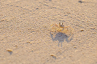Horned Ghost Crab (Ocypode ceratophthalmus), juvenile, standing on sandy beach, Maldives, Asia