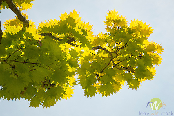 Harkness Memorial State Park. Yellow maple tree.