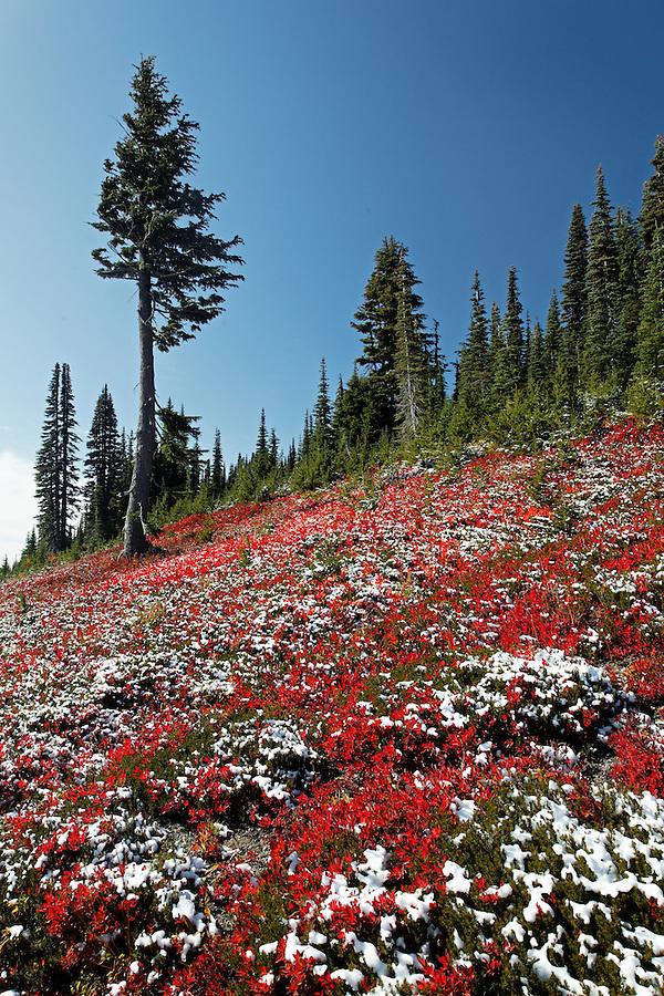Snow dusted meadow, Paradise, Mount Rainier National Park, Washington, USA