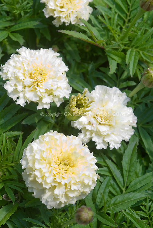 Marigold white flowers plant flower stock photography tagetes white marigolds annual flowers mightylinksfo