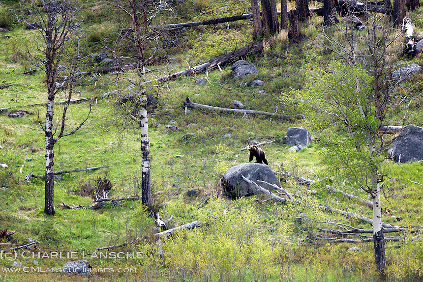 A grizzly bear surveys the landscape from a rock perch in the Lamar Valley.